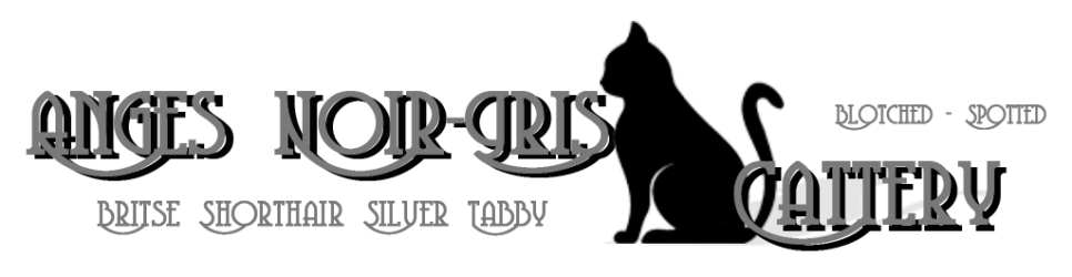 Anges Noir-Gris Cattery